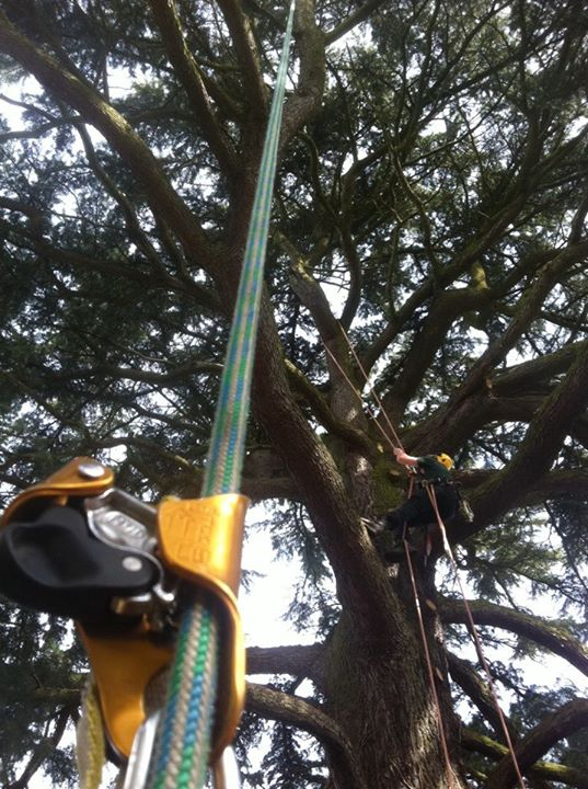 Three Pears Tree Care| Tree removal